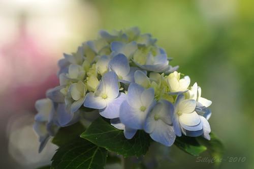 hydrangea in blue...藍繡球