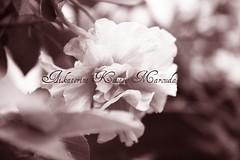 Hibiscus flower (again) (Aikaterini Koutsi Marouda aka kotsifi) Tags: plant flower detail nature leaves vintage garden blossom bokeh again hibiscus redfilter canoneos40d kotsifi aikaterinikoutsimarouda