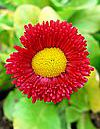 Red daisy with yellow center