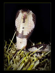 Midnight Surprise (guenterleitenbauer) Tags: see photo google cobra foto image photos reptile snake urlaub feld siamese images krnten carinthia 1d fotos thai bild siam snakes 2009 obersterreich bilder reptiles schlange venomous gnter venom lethal siamensis naja kobra schlangen reptilien kobras tdlich nockalm guenter reptilienzoo giftschlangen leitenbauer ysplix giftnatter giftnattern elapiden elapids wwwleitenbauernet brennsee