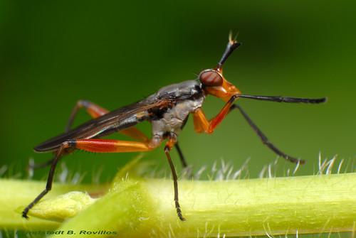 Marsh fly - Sepedon Specie