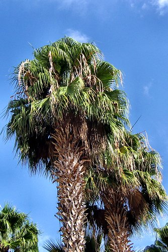 Washingtonia robusta (rq) - 03