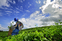 The Tea Picker with Her Bamboo Basket ( DocBudie) Tags: green fresh highland humanitarian teaplantation toba humanist laketoba tealeaves teapicker tourismdestination northsumatra sumaterautara kebunteh simalungun pemetikteh humantinterest sidamanik kebuntehsidamanik visitlaketoba2010 theteapicker