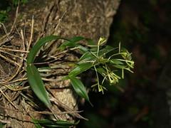 Orquídea mosca verde / Green fly orchid (Epidendrum conopseum), CONSERVACIÓN