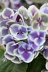 33588 (Clive Nichols) Tags: mars hydrangea shrub hortensia mophead macrophylla hortensis clivenichols ramars flickrhydrangeas