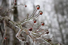 IMG_3616 (lakemontlady) Tags: winterweather encasedinice
