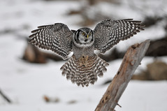 Northern Hawk Owl Landing DSC_4184 (Ron Kube Photography) Tags: canada bird nature birds fauna nikon hawk raptor alberta owl ornithology birdofprey northernhawkowl surniaulula southernalberta d300s distinguishedraptors ronaldok nikond300s ronkubephotography