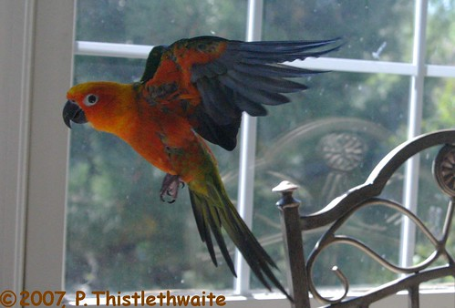 Sun Conures Flying Conure Chomper Flying