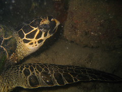 A Turtle at Hantu