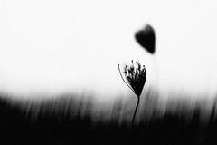 Haiku (Effe.Effe) Tags: bw blur monochrome heart wind coeur bn minimalism cuore corazn queenanneslace 50mmf18 sfocato