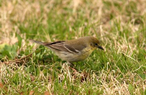Pine Warbler - 2/10/2010