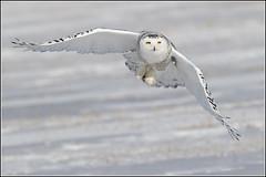 Owl (Snowy) - 1175 (Earl Reinink) Tags: flight raptor snowyowl snowyowlinflight earlreinink wwwearlreininkcom wwwipaintca