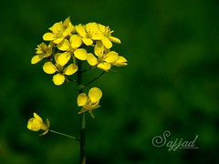 Nature, Flowers (Sajjad Tufail ( in KL )) Tags: camera flowers blur flower macro nature beautiful yellow by digital canon wonder photo nice with natural bokeh sony captured taken alpha dslr gree challenge sajjad a900 tufail sonyphotochallenge