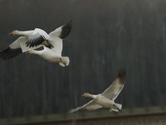 snow geese in flight 2 (kkdemien) Tags: bird geese migration snowgeese