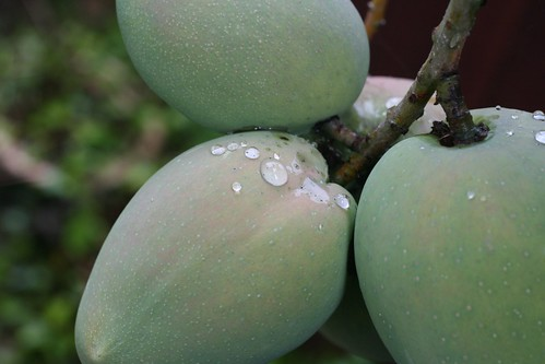 Rain On Mangoes
