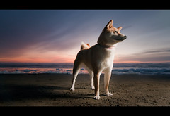 Heroic - 7/52 (kaoni701) Tags: sanfrancisco sunset red portrait sky dog pet sun color cute beach night puppy sand nikon wolf waves dusk flash tokina fox oceanbeach suki shibainu shiba speedlight cutest cls dogphotography 16x9 lr3 uwa shibaken  sb800 1116 strobist sb900 d300s 52weeksfordogs
