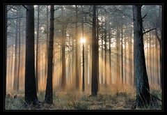 Rhinefield (New Forest) Sunrise (paulinuk99999 (lback to photography at last!)) Tags: new light mist tree misty zeiss forest sunrise availablelight sony explore carl alpha 700 za rhinefield newforestnationalpark platinumphoto sal1680z variosonnar16803545za paulinuk99999 variosonnartdt35451680