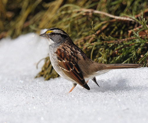 Sparrow weathering the snow