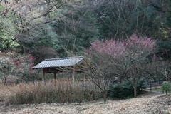 「ふるさとの森」休憩所を遠くから(Japanese Apricot at Shikinomori park, Japan)