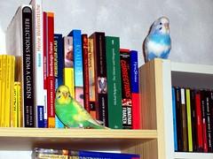 Budgies on the Bookshelf (cangaroojack) Tags: blue white playing green bird home birds yellow buch book flying australian n paar books bookshelf tommy shelf paula budgerigar budgie parakeet beatles abbeyroad cds pied weezer vgel parakeets regal bcherregal budgies vogel wellensittiche bcher weibchen wellensittich mnnchen reclam yellowface schecken ninestories thecorrections schlafesbruder freiflug nymphensittiche reflectionsfromagarden dermeisterundmargarita meinewellensittiche