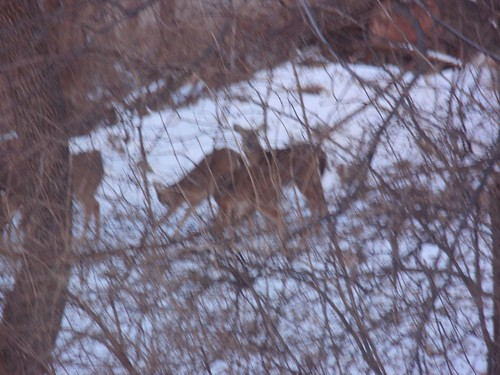 02.17.10 Deer in our Backyard (3)