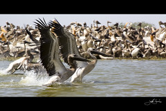 Yearning for Flight (jsnowy2768) Tags: africa pelicans young westafrica senegal djoudj senegalriver fleuvedusenegal parcdjoudj