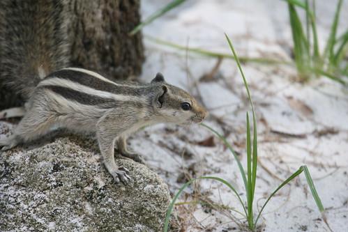 Indian Palm squirrel (Funambulus pennanti),
