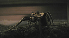 Wolf Spider 2 (Joshr-b) Tags: museum insect spider melbourne lycosidae bugsalive canonpowershotsx1is