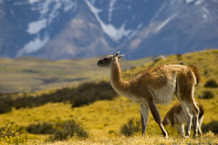 Guanaco - Torres Del Paine National Park (Priscila de Cássia) Tags: chile patagonia torresdelpaine guanaco nikond90 thechallengegame challengegamewinner
