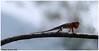 Threat !!!! (Naseer Ommer) Tags: male kerala lizard southindia gardenlizard calotes herpetofauna naseerommer discoveryplanet dpintl