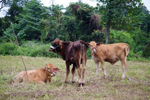 阿公新買的小牛