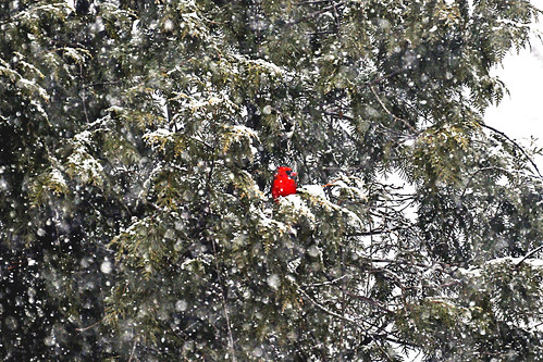 northern cardinal snow