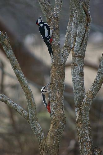 Woodpecker Pair 2