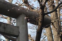 -20 (abuckingham) Tags: tree japan tokyo nikon shrine seasons ueno  sakura  shinto  torii   2010  plumblossoms 50mmf18 d300   hanazonoinarijinja gojotenjinja