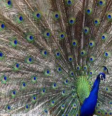 Peacock (Waleed Aldakhil) Tags: life color birds garden island happy peacock olympus your xiamen to ibrahim 70300mm zuiko waleed become                       anawesomeshot     e620       aldokhail