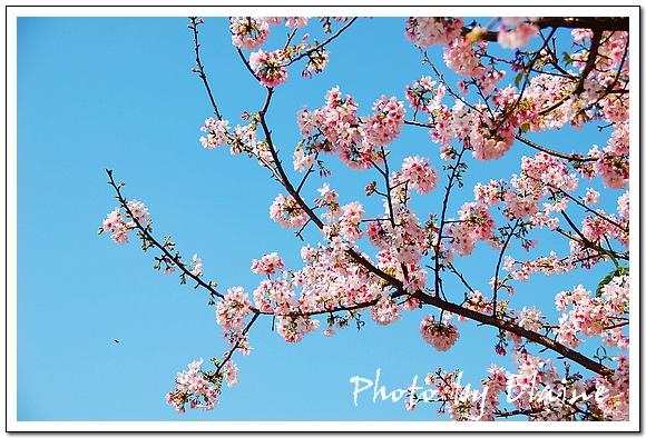 天元宮櫻花2