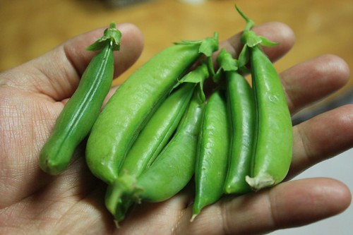 First Snap Peas Harvest