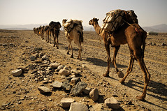 Long road - Danakil desert - Ethiopia (PascalBo) Tags: africa outdoors nikon desert salt camel caravan ethiopia sel afrique dsert hornofafrica afar eastafrica caravane dromadaire d300 ethiopie danakil 123faves afarregion cornedelafrique afriquedelest pascalboegli dancalie ahmedela lptracks lp2011winners