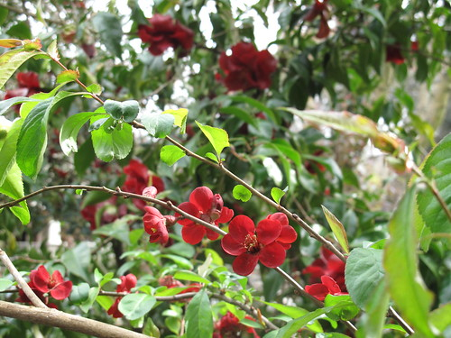 Chaenomeles japonica 'Atsuya Hamada' (guess)