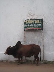 Bull - Puri, India