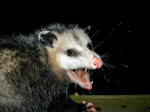 Photo of Possum