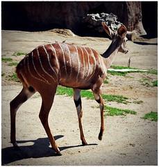 Bye (Srch) Tags: california animal zoo gazelle sandiegozoo gacela zoologico nikond60