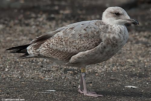 European Herring Gull, 2cy, Y[W0]