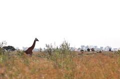 Nairobi National Park: giraffe (mothclark62) Tags: skyline kenya wildlife nairobi giraffe kenyan eastafrica eastafrican masaigiraffe nairobinationalpark nairobiskyline