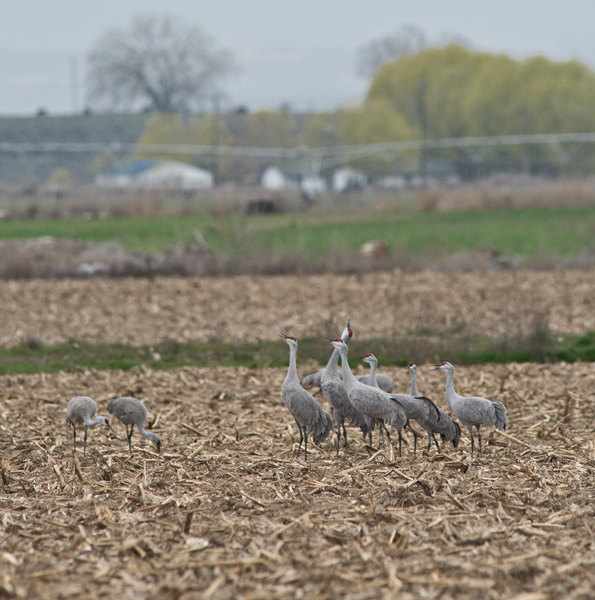 Cranes at the Othello Sandhill Crane Festival