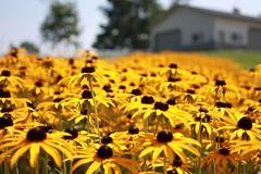 IMG_0828 (rancidgoat) Tags: flower barn farm blackeyedsusan