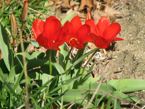 cheery tulips