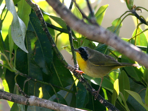 Male Common Yellowthroat 20100401
