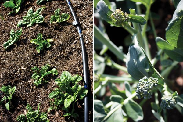 spinach & broccoli
