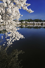 DC Cherry Blossoms (Todor Kamenov ) Tags: pink white reflection water cherry japanese dc washington spring nikon colorful blossoms basin tidal 2010 d300
